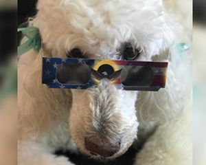 A white poodle dog wearing eclipse glasses.