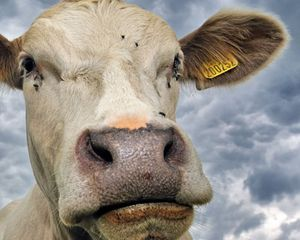 Cow with Flies Around Eye
