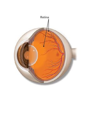 Eye anatomy with retina labeled