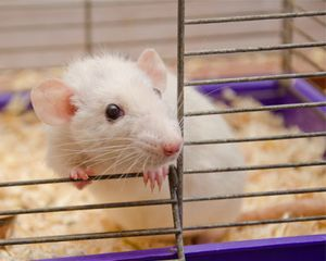 A mouse looks out of the open door of a cage, with wood shavings underneath.