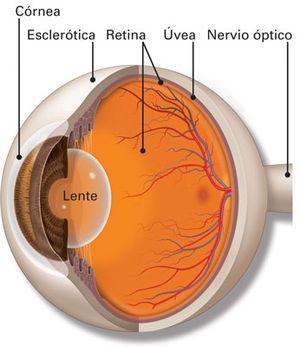 Coroides, Cuerpo ciliar, Esclerótica y Uvea en el ojo