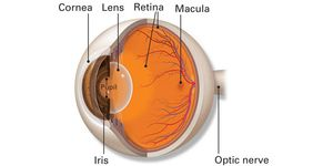 Illustration of basic interior eye anatomy, including cornea, lens, macula, retina, iris and optic nerve.