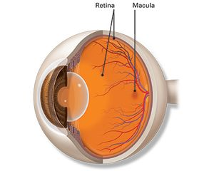 An illustration of the eye, showing where the retina and macula are