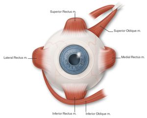 eye muscles, color (labeled) - american academy of ophthalmology, Human Body