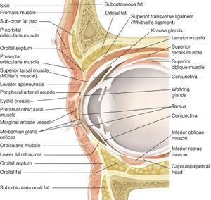 Eyelid anatomy american academy of ophthalmology eyelid anatomy ccuart Images