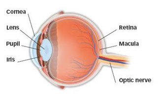 Diagram of the anatomy of the eye.