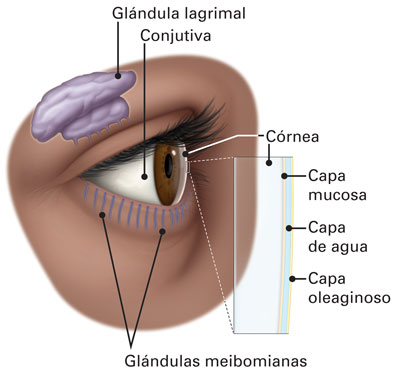Glándulas de meibomio - American Academy of Ophthalmology