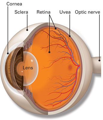 Diagram of Choroid Ciliary Body Sclera and Uvea in the eye