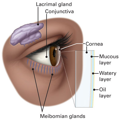 Diagram of the outer structures of the human eye, including the conjunctiva, lacrimal gland, and the mucus, water and oil layers of the tear film.