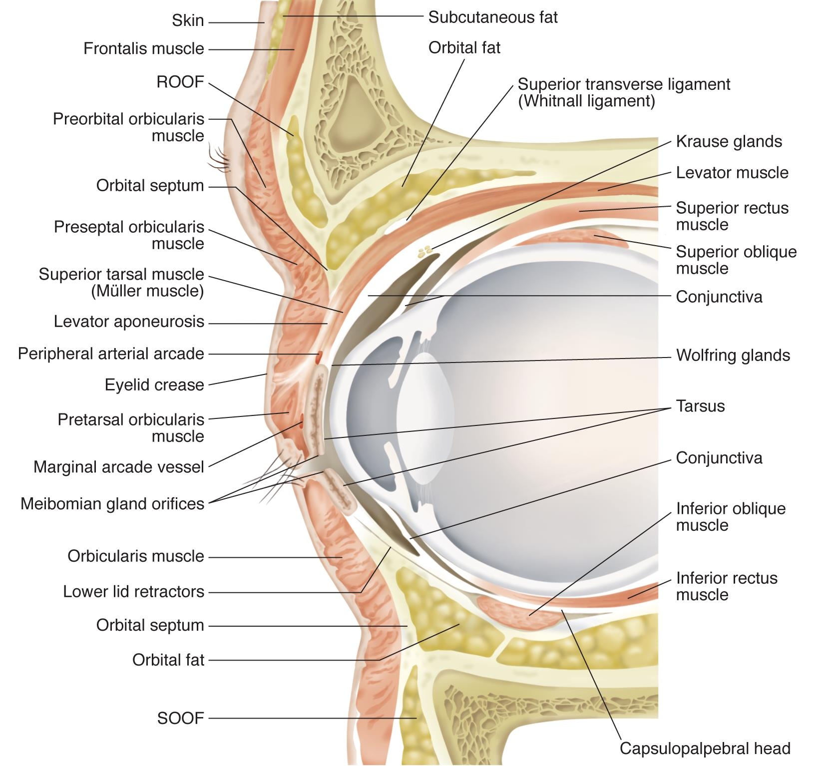 Upper and lower eyelid anatomy - American Academy of Ophthalmology