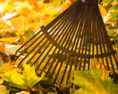 Photograph of a rake in fall leaves