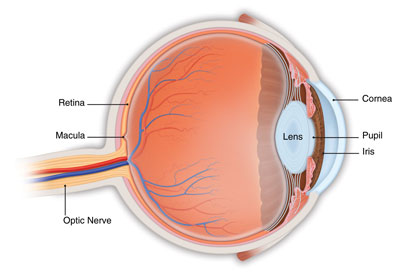 What is macular degeneration american academy of ophthalmology eye anatomy diagram ccuart Choice Image
