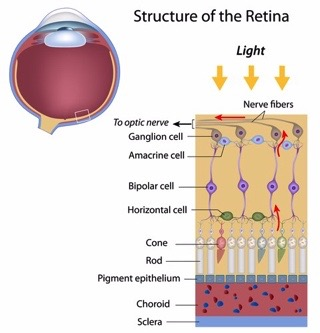 Structure of retina-rods and cones