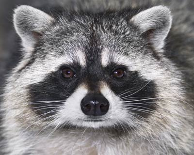 Close up of the face of a raccoon.