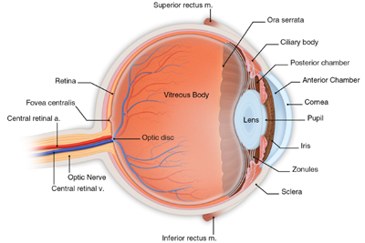 Interior Eye Anatomy