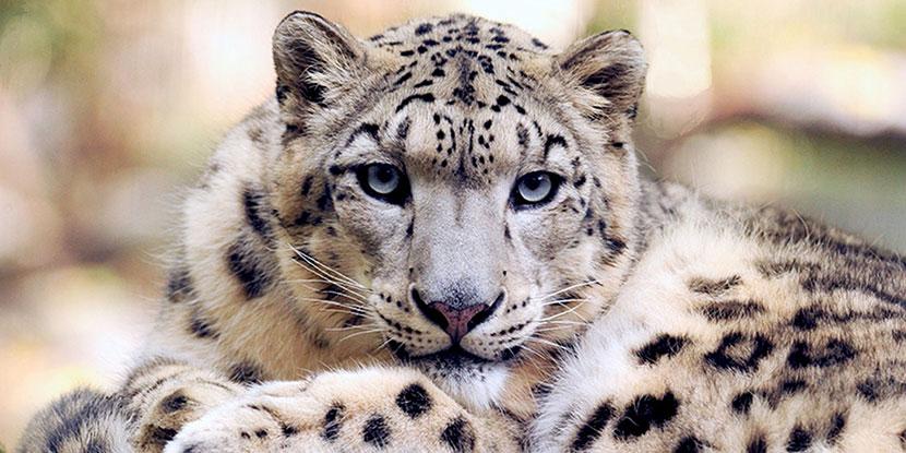 Week in review: Leopard surgery, hardy zebrafish, Parkinson breakthrough