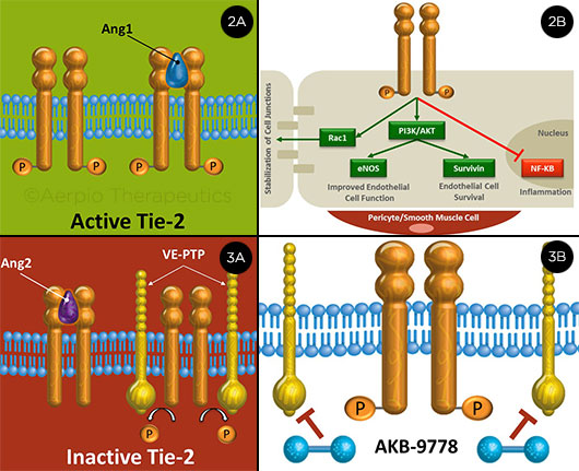 Tie-2: Active and Inactive