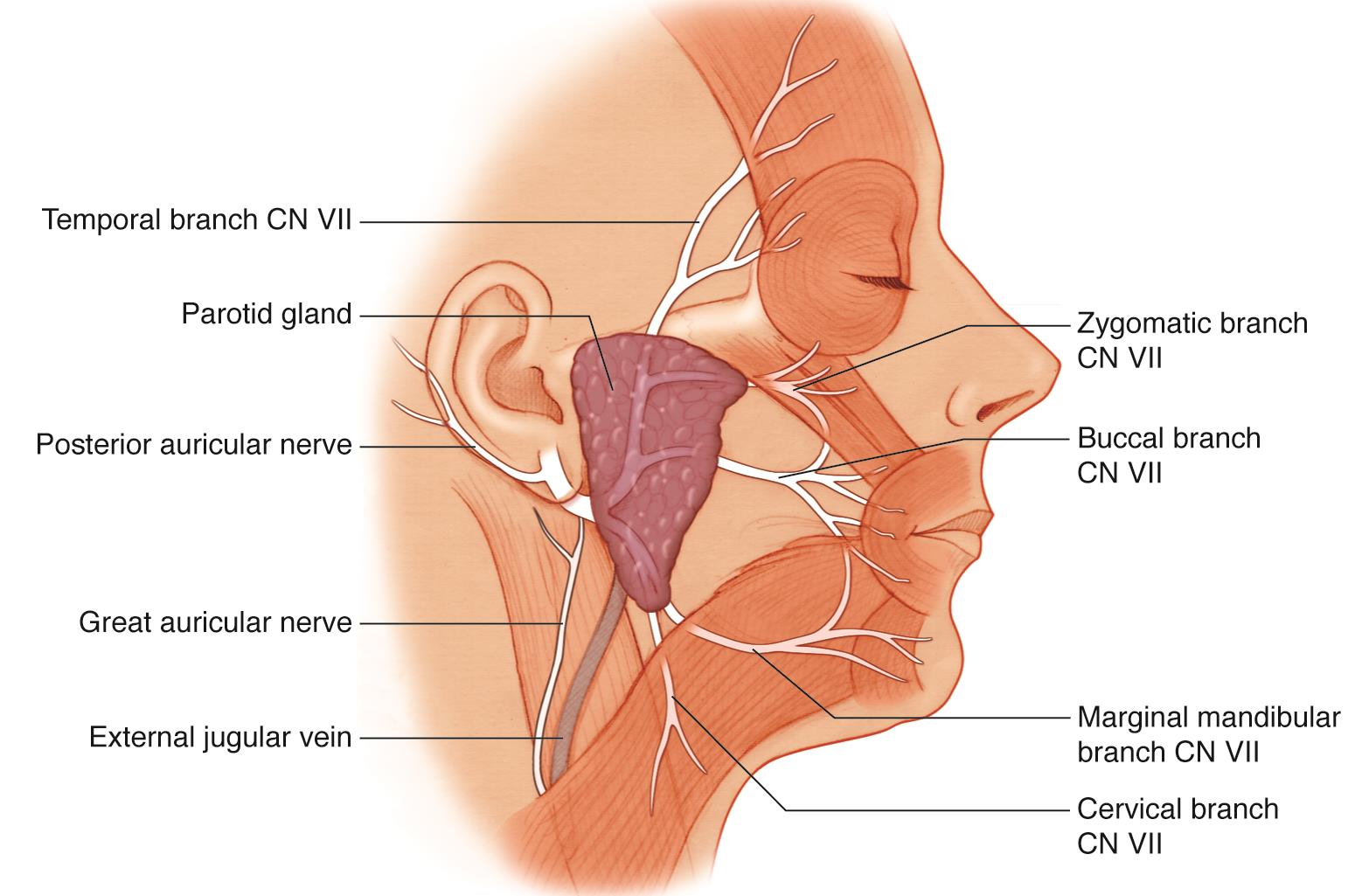 Major Branches Of The Facial Nerve American Academy Of Ophthalmology
