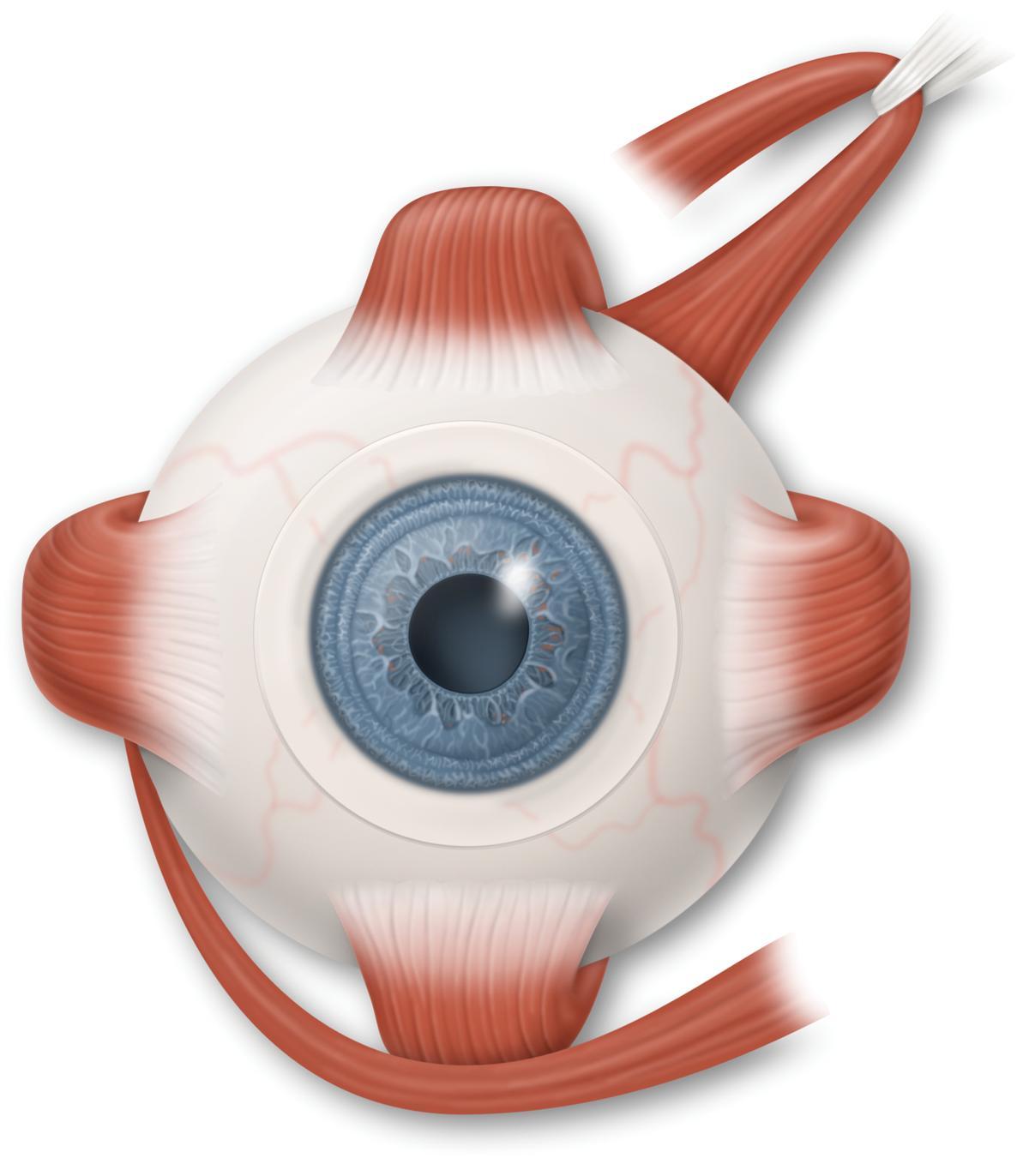 Глазодвигательные мышцы картинки
