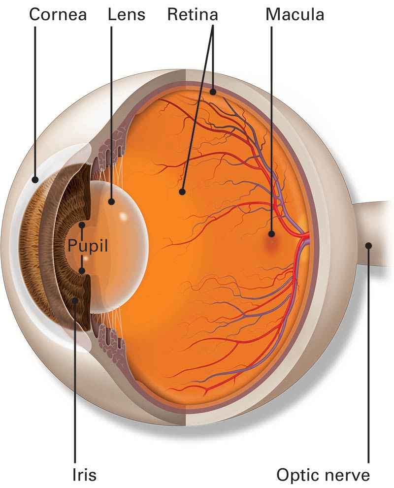 Illustration of the major parts of the interior of the human eye, including retina, macula, optic nerve, cornea lens and pupil.